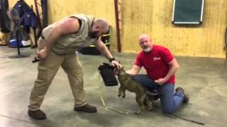 "Powerhouse Puppy ""Tycho"" 1o wks Early Protection Testing Development Dog For Sale Best Elite K9"