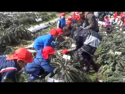 平成27年度 桜島大根収穫
