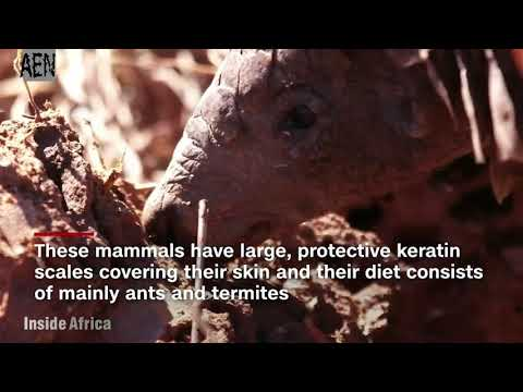 Pangolins are the world's most poached animal