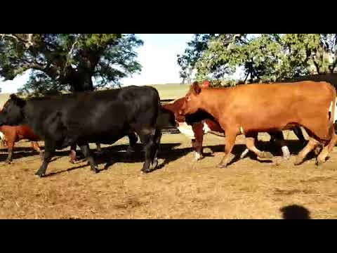Afiche 45 Vacas preñadas  - 470kg - Artigas