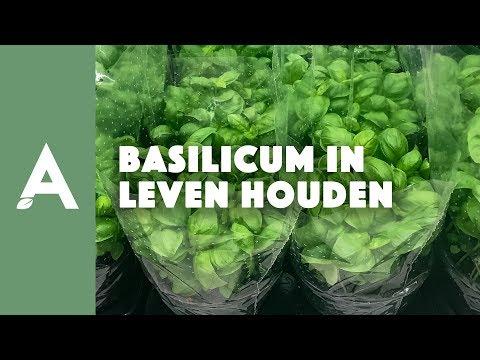 Basilicum in leven houden - Een groener thuis! #22
