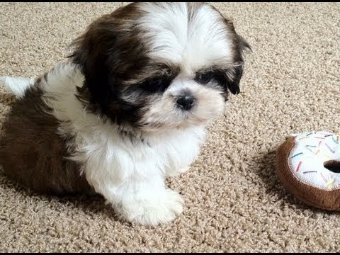 puppy shih tzu for sale shih tzu puppies for sale 3146