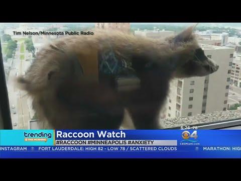 Trending: Raccoon Scales Skyscraper
