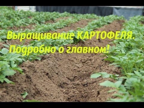 Выращивание картофеля. Подробно о главном!