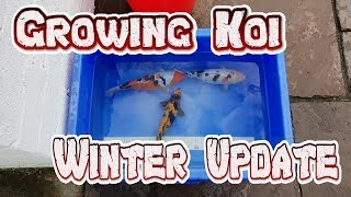 Growing Japanese Koi carp In Winter Update Feeding Water change in winter