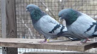 куда деваются голуби после покрытия