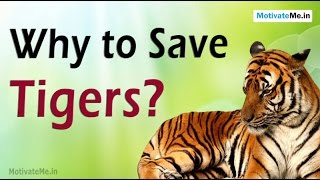 7 Reasons why we should save Tigers