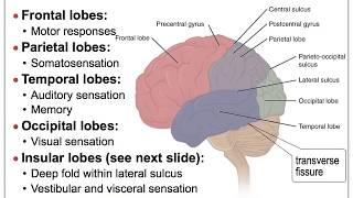 13B NS Brain Cerebral Cortex Anatomy