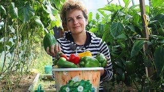 Крупные, сладкие перцы – урожай до октября!