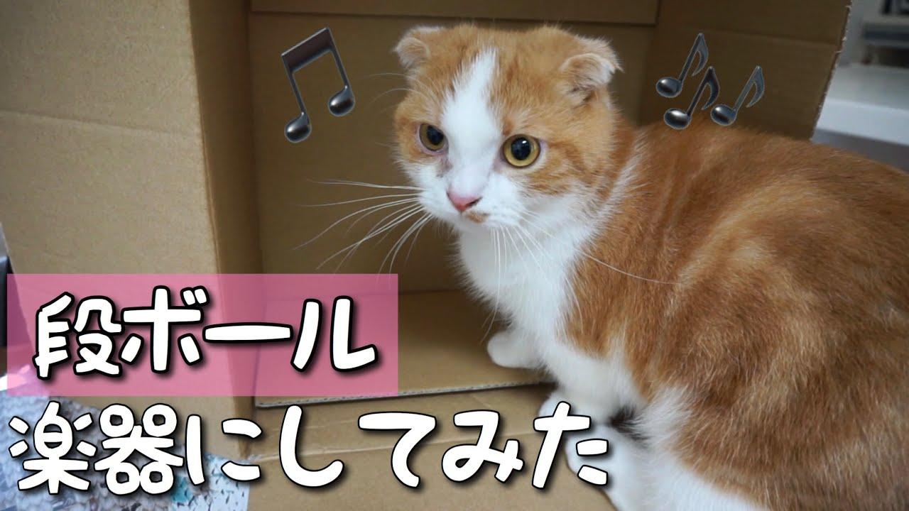 段ボールを演奏する短足マンチカン #猫 #cat #マンチカン #段ボール #演奏 #短足