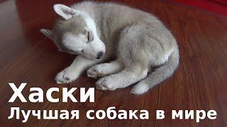 Хаски Лучшая собака в мире. Спит и потягивается во сне