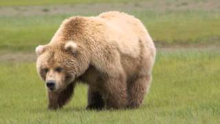 Katmai National Park - Walking with the Giant Grizzly Bears