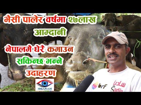 मकवानपुरमा बिदेशबाट फर्केका युवाहरुले भैसी पालेर वर्षमा २७लाख आम्दानी गर्छन्  Exclusive Bhaisi palan