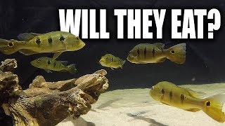 FEEDING THE MONSTER FISH | The King of DIY
