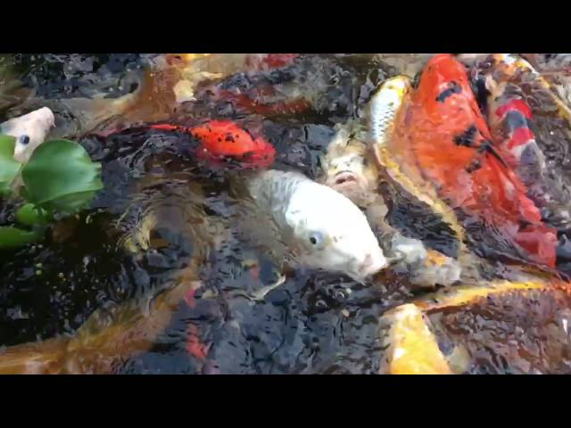 Hydrosphere pond supplies canada koi aquatic plants for Hardiest pond fish