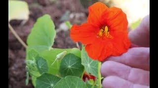How to Grow Nasturtiums from Seed
