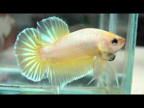 Betta fish needs to eat good food. Never over feed your fish. Their ...