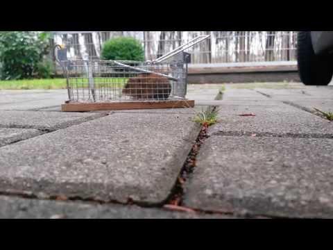 Mausefallentest Teil II. Maus in Lebendfalle gefangen.