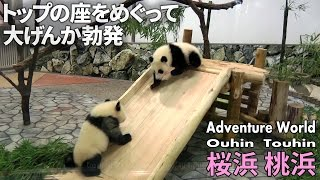 赤ちゃんパンダ 桜浜&桃浜 トップの座をめぐって大げんか Baby Pandas at Wakayama Adventure World