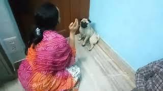 Adorable Pug Compilation - Cute Dog Videos