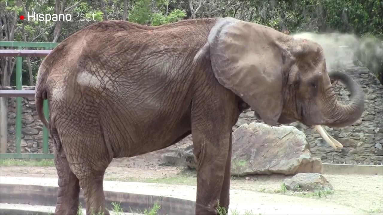 Elefante Ruperta es atendida tras denuncia de HispanoPost