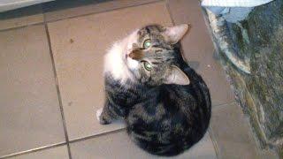 Кот смешно играет