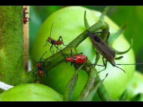 Quadro di parassita malarico