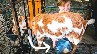 She hasn't experienced THIS before! (first time milking our goat)