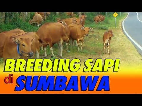 Pengembangbiakan Sapi Bali di Pulau Sumbawa Nusa Tenggara Barat #SAPIBAGUS
