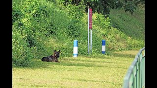 Singapore dogs: A stray dog in Singapore