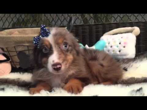 Mini Aussie Male made to be cuddled!