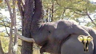 Elephant Bull Pushing Down A Massive Tree. Amazing.