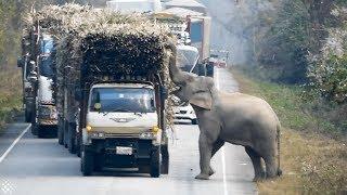 animale elefantul pe sosea
