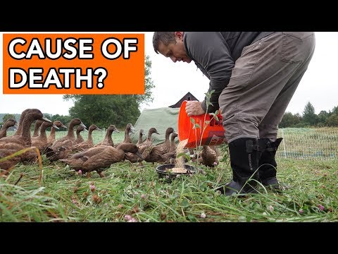 , title : 'Why did our ducks die?