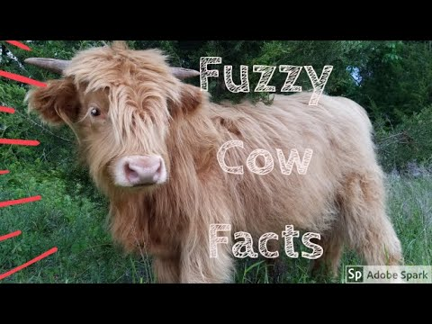 , title : '4 Facts About Highland Cows