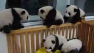 Панды играют в комнате