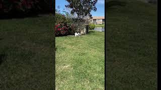 American Eskimo Dog Puppies Videos