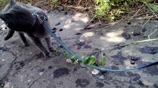 Кошка на поводке. Прогулка с кошкой. Лето 2017