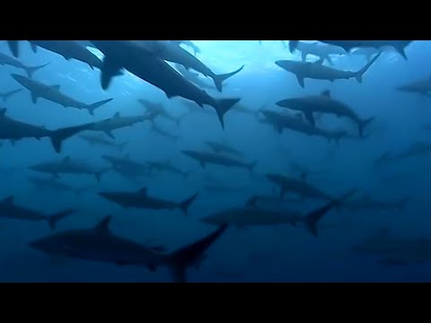 Thousands Of Sharks Visit A Sea Mount
