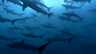 Thousands Of Sharks Visit A Sea Mount | Blue Planet | BBC Earth
