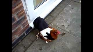 Rabbit Humping A Chicken