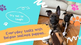 Daily Life With Belgian Malinois Puppies!