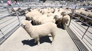 Mount Gambier Lamb Sale Report - 16th November 2016