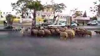 preview picture of video 'Shepherd leading flock across busy road in Amman, part 2'