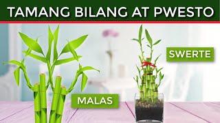 Swerteng Pwesto At Bilang Ng LUCKY BAMBOO PLANT Sa Iyong Bahay