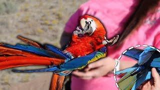 Baby vs Adult Birds For Freeflight | How to Use Marshall GPS on Parrots (Demo on Baby Scarlet Macaw)