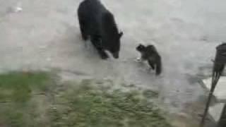 Смотреть онлайн Кошка прогнала медведя со двора