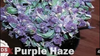 Purple Haze Strain Review
