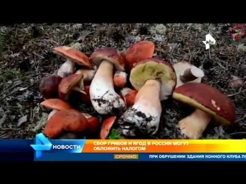 Налог на сбор грибов и ягод в России! www.grib.tv
