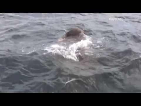 Моряки спасли утопающего слона